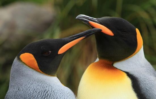 pingviny-edinstvennye-pticy-kotorye-plavayut-no-ne-letayut
