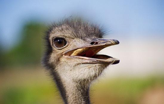 Почему страус не умеет летать