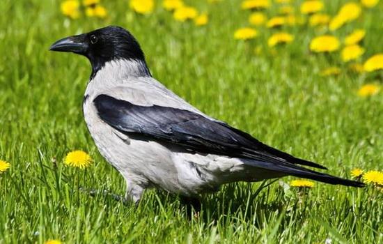Почему ворона считается вредной птицей