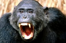 Интересные факты о Шимпанзе (Chimpanzee)