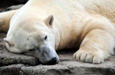 Самый неповоротливый — медведь
