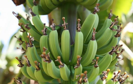 Сколько бананов растет на пальме