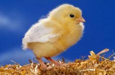 Сколько времени цыпленок может прожить без головы?