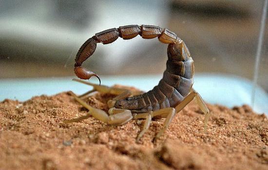 Скорпион (Scorpion)