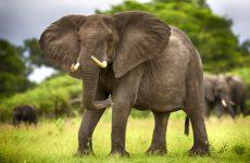 Интересные факты про Слонов (Elephant)