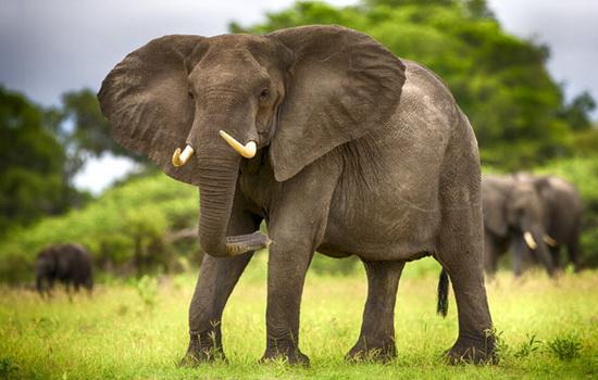 Слон (Elephant)