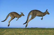 Слово кенгуру – что обозначает на языке аборигенов