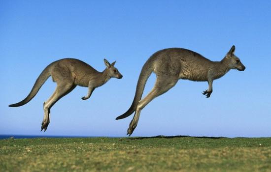 slovo-kenguru-chto-oboznachaet-na-yazyke-aborigenov