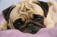 Интересные факты про Собак (Dog)