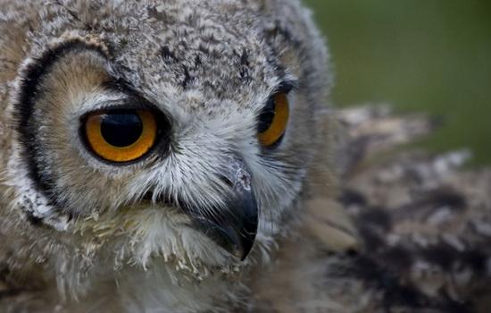 Сова (Owl)