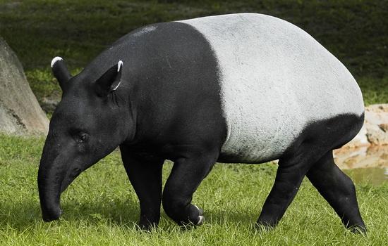 Тапир (Tapir)