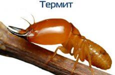 Интересные факты про Термитов (Termite)