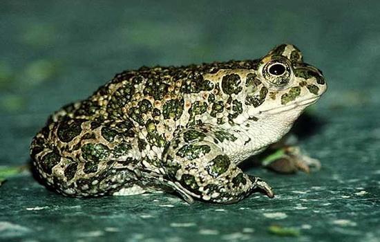 Тростниковая жаба ага (Cane Toad)