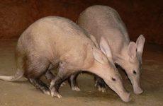 Интересные факты про Трубкозуба (Aardvark)