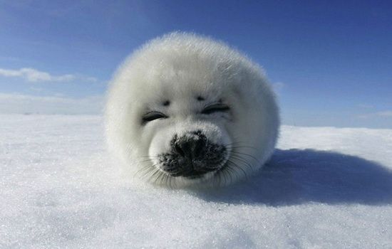 Тюлень (Seal)