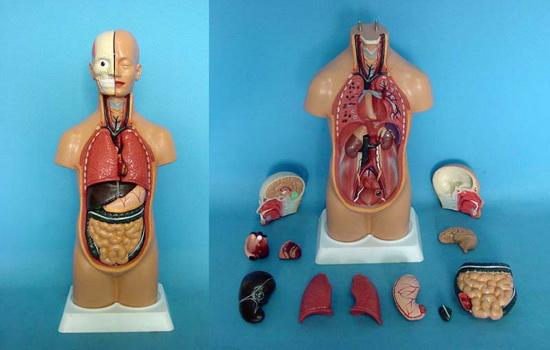 У человека нет ни одного органа