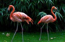 У фламинго розовые перья