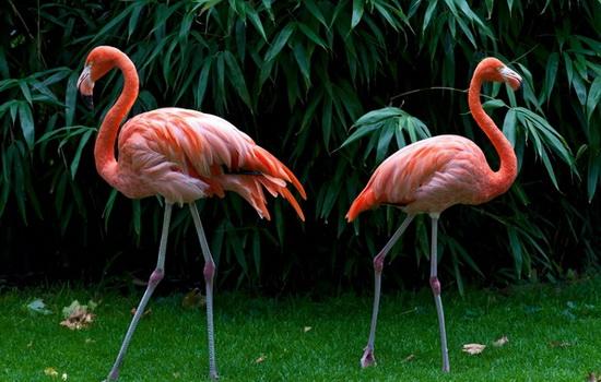 u-flamingo-rozovye-perya