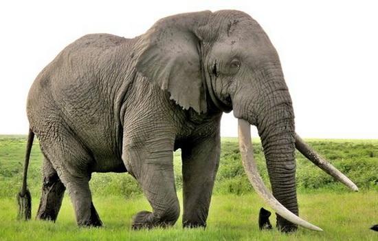 У слона — самая толстая кожа