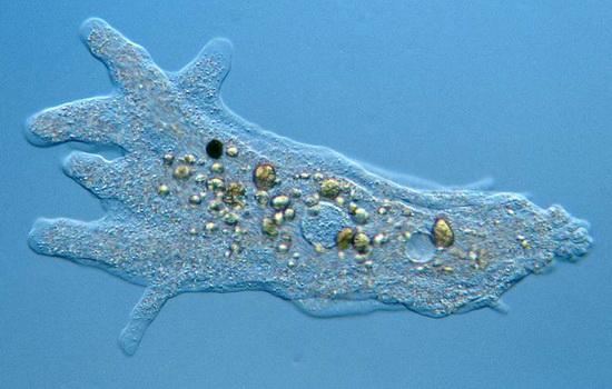 В чем живет амеба