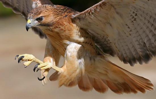 yastreb-samaya-bystraya-ptica