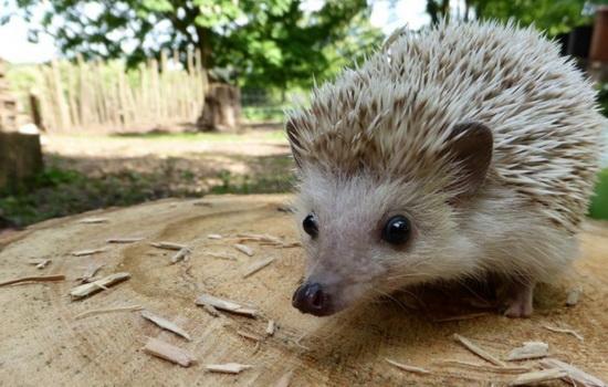 yozh-hedgehog