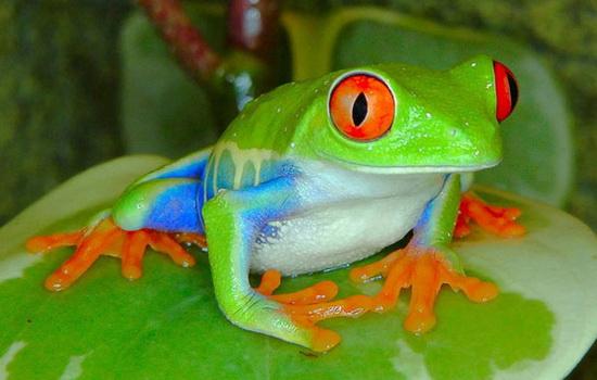 zhaba-toad