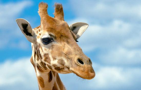 zhiraf-giraffe