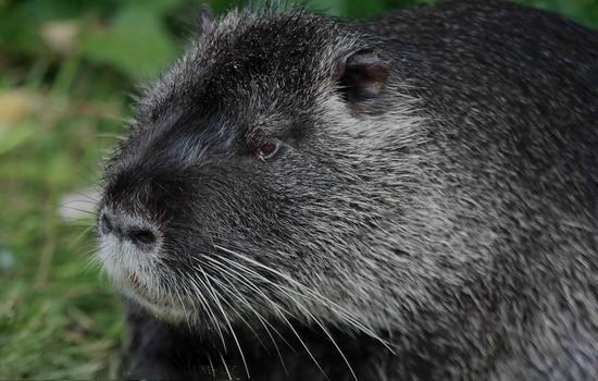 За что нутрию обозвали крысой