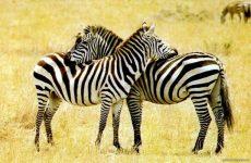 Зебра полосатая, чтобы маскироваться от хищников