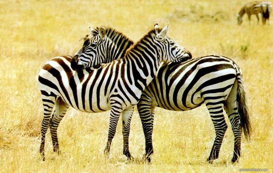 zebra-polosataya-chtoby-maskirovatsya-ot-xishhnikov