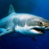 Интересные факты про Акул (Shark)
