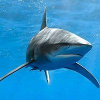 Акулы не могут остановиться и никогда не спят
