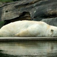 Белый медведь — белого цвета