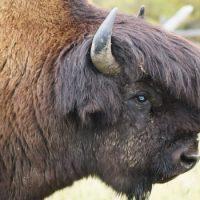 Интересные факты про Бизона (Bison)