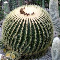 Чем примечателен кактус ?