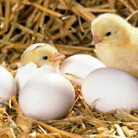 Что было раньше курица или яйцо?