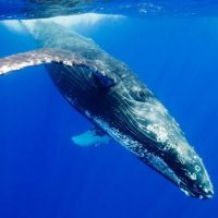 Что способен проглотить голубой кит?