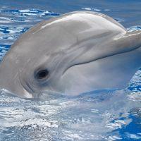 Интересные факты про Дельфинов (Dolphin)