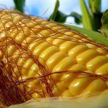Для чего кукурузе шелковая прядь ?