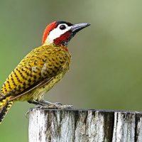 Интересные факты о Дятле (Woodpecker)