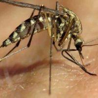 Если комаров истребить, жизнь на земле станет лучше