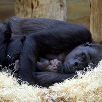 Где спят гориллы