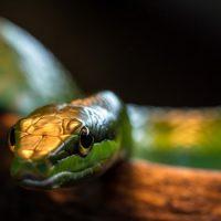 Где у змеи начало хвоста ?