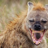 Интересные факты о Гиене (Hyena)