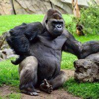 Интересные факты про Горилл (Gorilla)