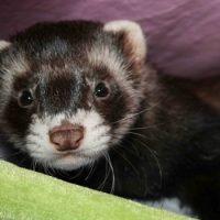 Интересные факты о Хорьках (Ferret)