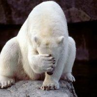Как маскируются белые медведи?