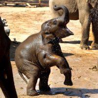 Как напиваются слоны ?