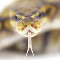 Как змеи умудряются проглатывать вещи крупнее своей головы ?